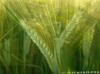 Wheatgrass3